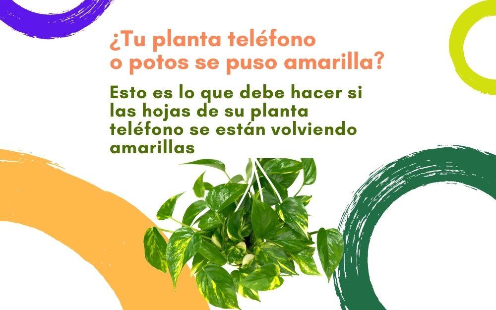 rePlanto Header Blog Potos Planta Telefono Amarilla