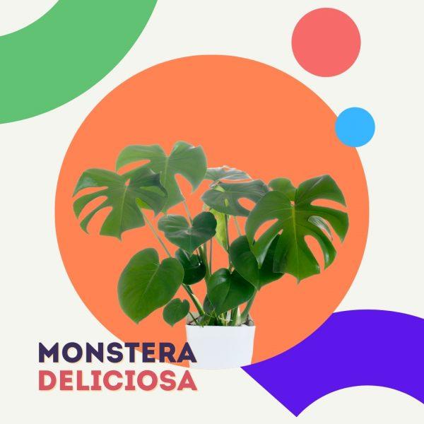 Monstera Deliciosa Costilla de Adan planta replanto