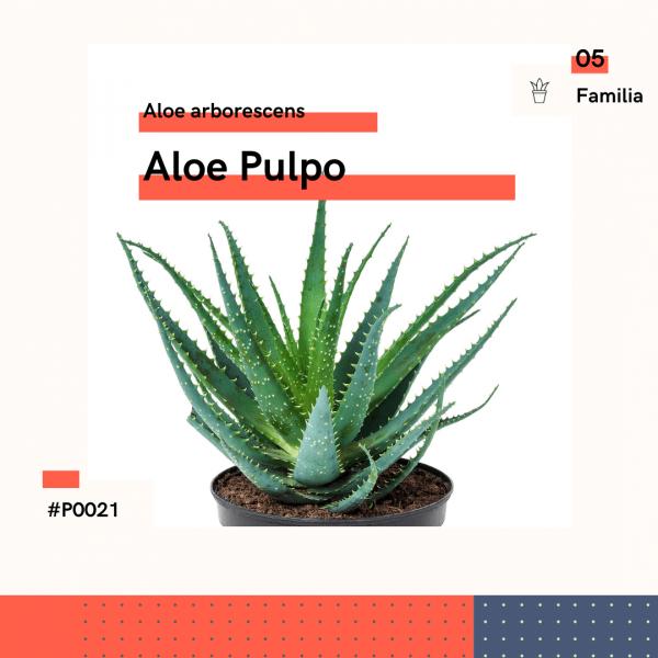 P0021 Aloe Pulpo Aloe Arborescence Suculenta Planta Replanto
