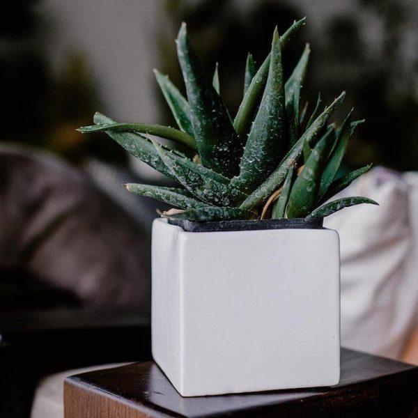 P0023 Aloe Vera Aloe Vera Suculenta Planta Replanto