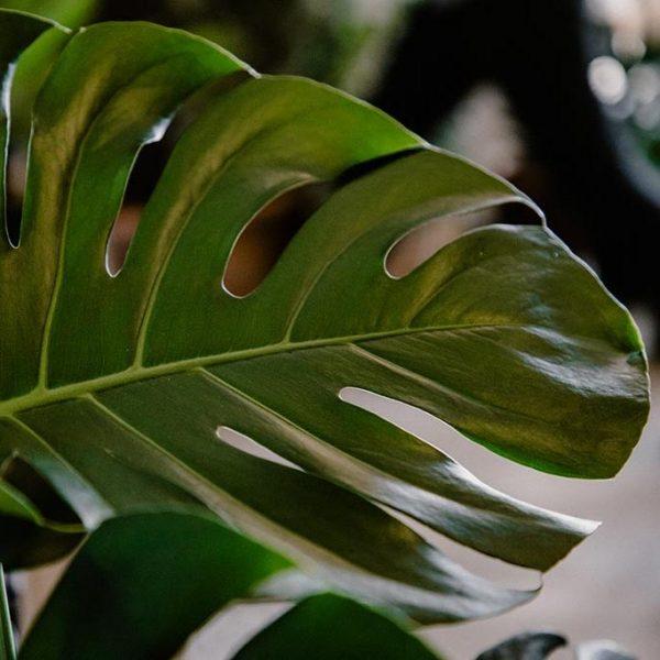 P0031 Costilla De Adan Monstera Deliciosa Hojas Planta Replanto