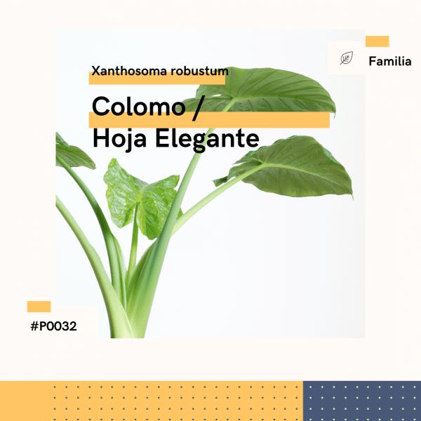 P0032 Colomo Hoja Elegante Xanthosoma Robustum Hojas Planta Replanto