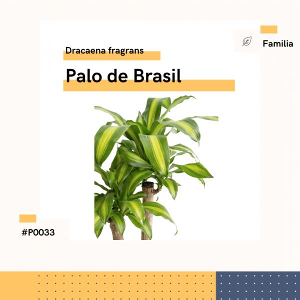 P0033 Palo De Brasil Dracaena Fragrans Hojas Planta Replanto