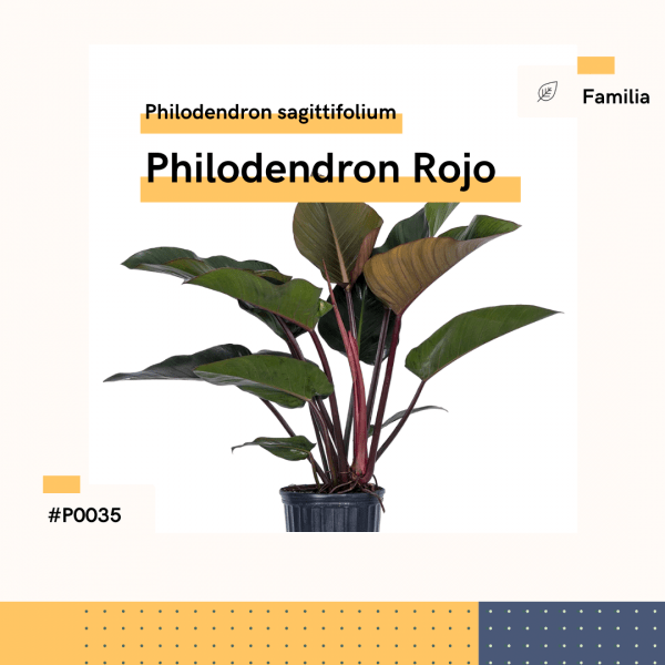 P0035 Philodendron Rojo Philodendron Sagittifolium Hojas Planta Replanto