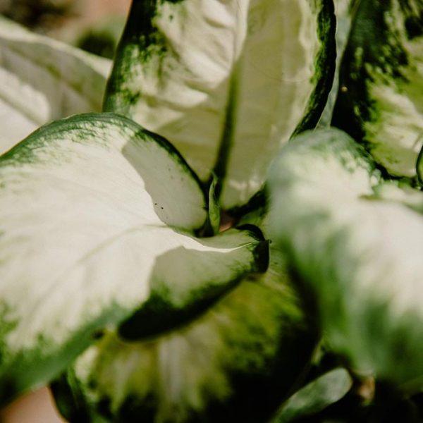 P0038 Amoena Camila Dieffenbachia Hojas Planta Replanto