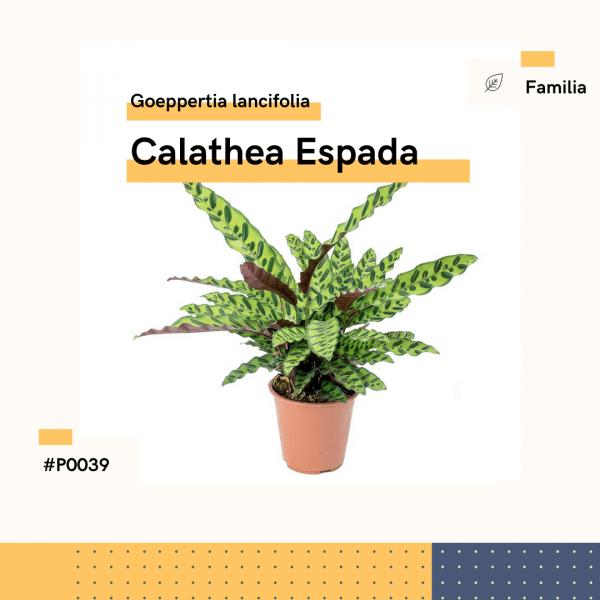 P0039 Calathea Espada Goeppertia Lancifolia Hojas Planta Replanto