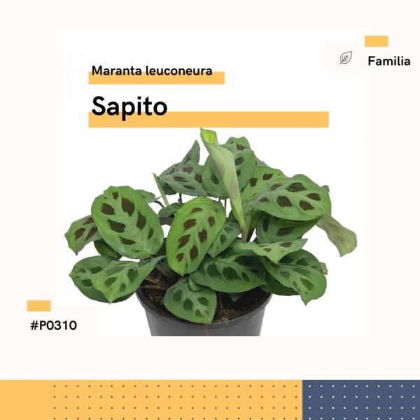 P0310 Sapito Maranta Leuconeura Hojas Planta Replanto