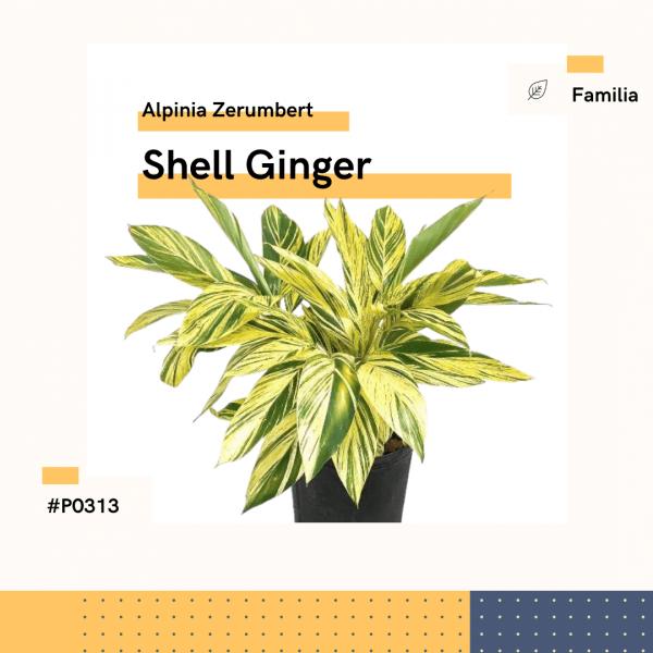 P0313 Shell Ginger Alpinia Zerumbert Hojas Planta Replanto