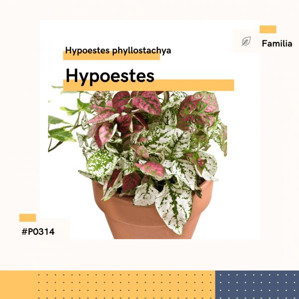 P0314 Hypoestes Hypoestes Phyllostachya Hojas Planta Replanto