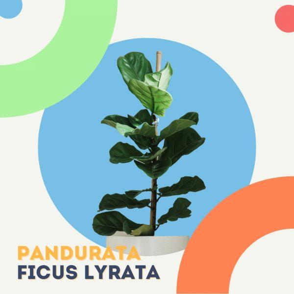 Pandurata Ficus Lyrata planta replanto