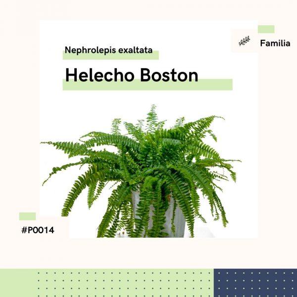 P0014 Helecho Boston Nephrolepis Exaltata Helecho Planta Replanto